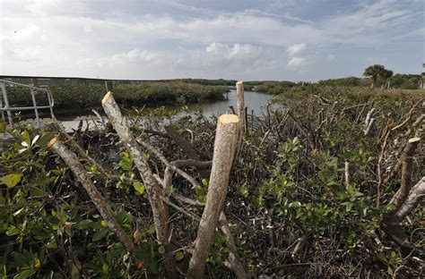 500 mangroves illegally slashed in Wilbur-By-The-Sea