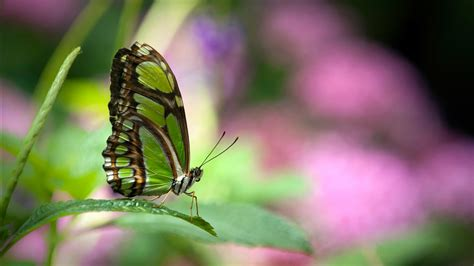 Green butterfly Wallpapers   HD Wallpapers   ID #10723