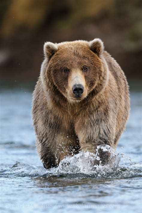 Grizzly Bears Archives   Skolai Images
