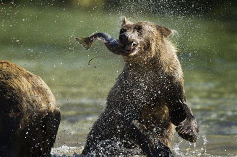 Brown and grizzly bears hunting salmon photographed by
