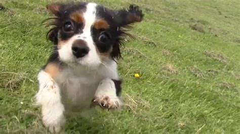 Tri Colour Cavalier King Charles Puppy off lead walking