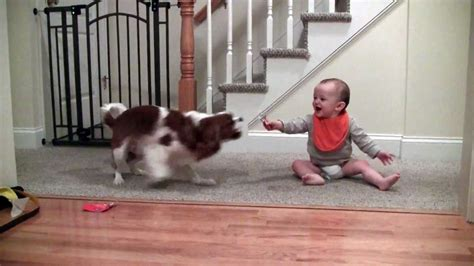 Adorable laughing baby and Cavalier King Charles playing