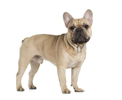 French Bulldog   Dogs   Breed Information   Omlet